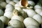 uova, pulcino, pulcini, schiusa delle uova, come nasce un pulcino, uova che si schiudono, scuola, appunti di scuola